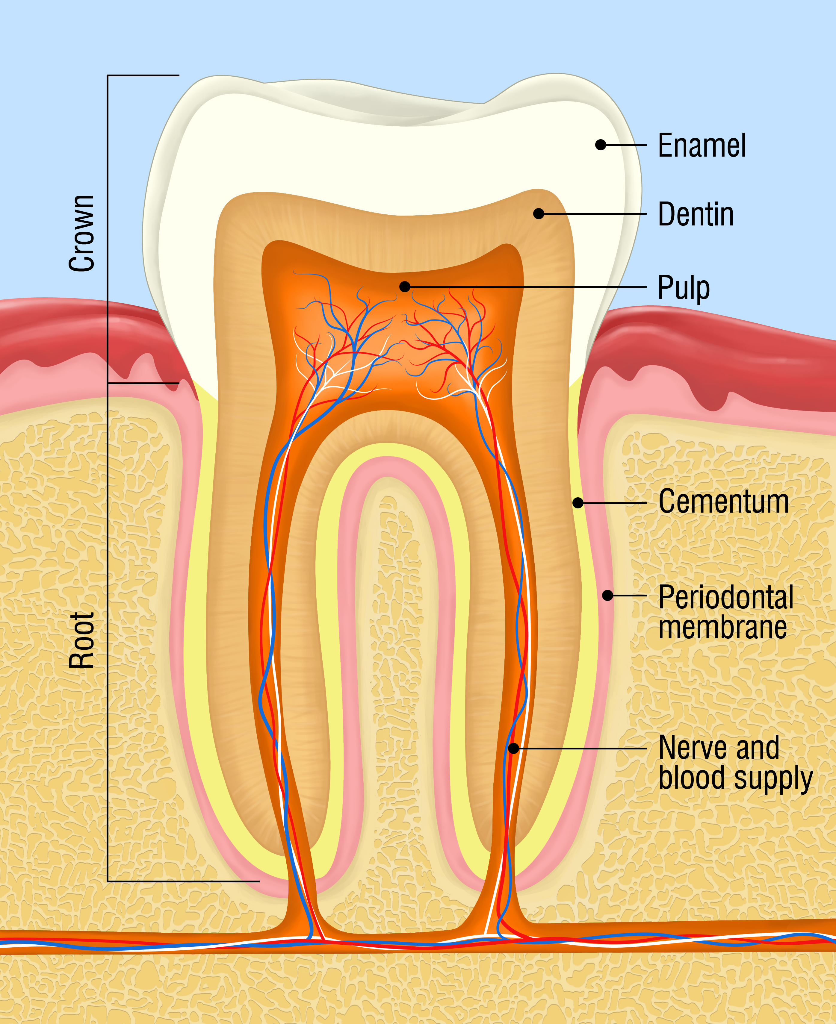 human tooth cross-section